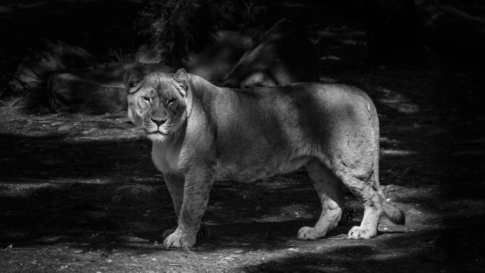grayscale photo of lioness