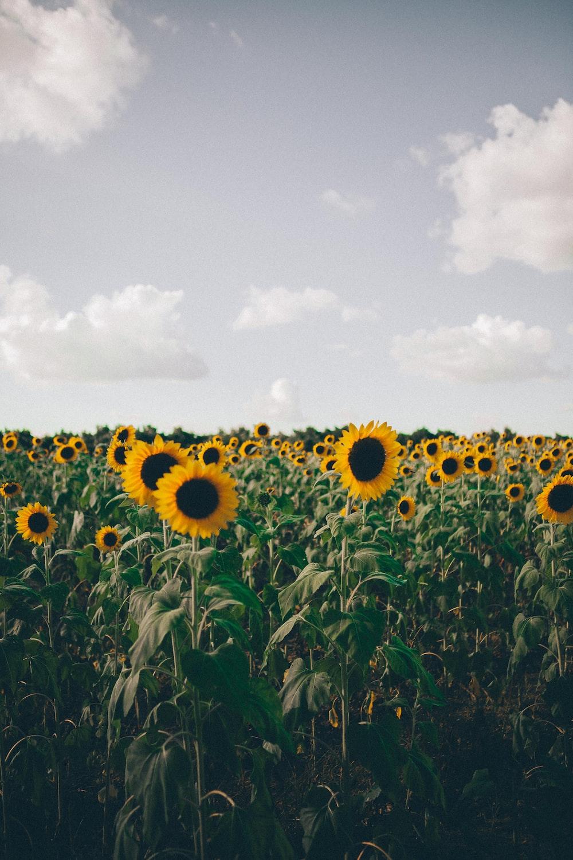blooming sunflowers in field