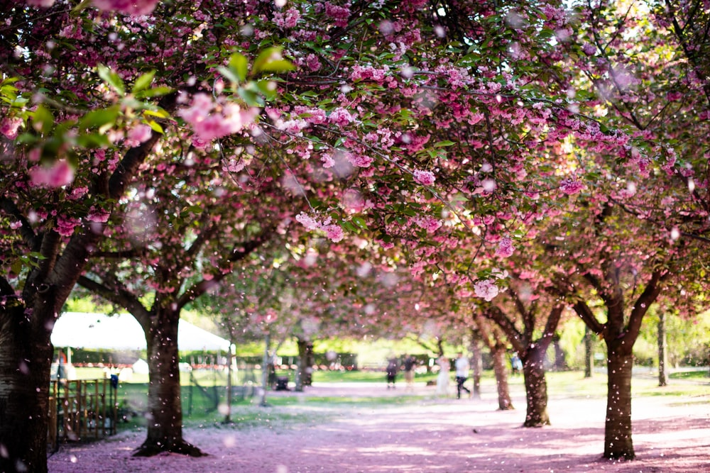 Cherry Blossoms Brooklyn Botanical Garden Pictures Download Free Images On Unsplash