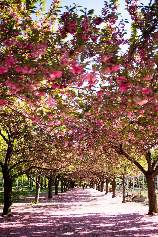 pathway between pink flowering tree