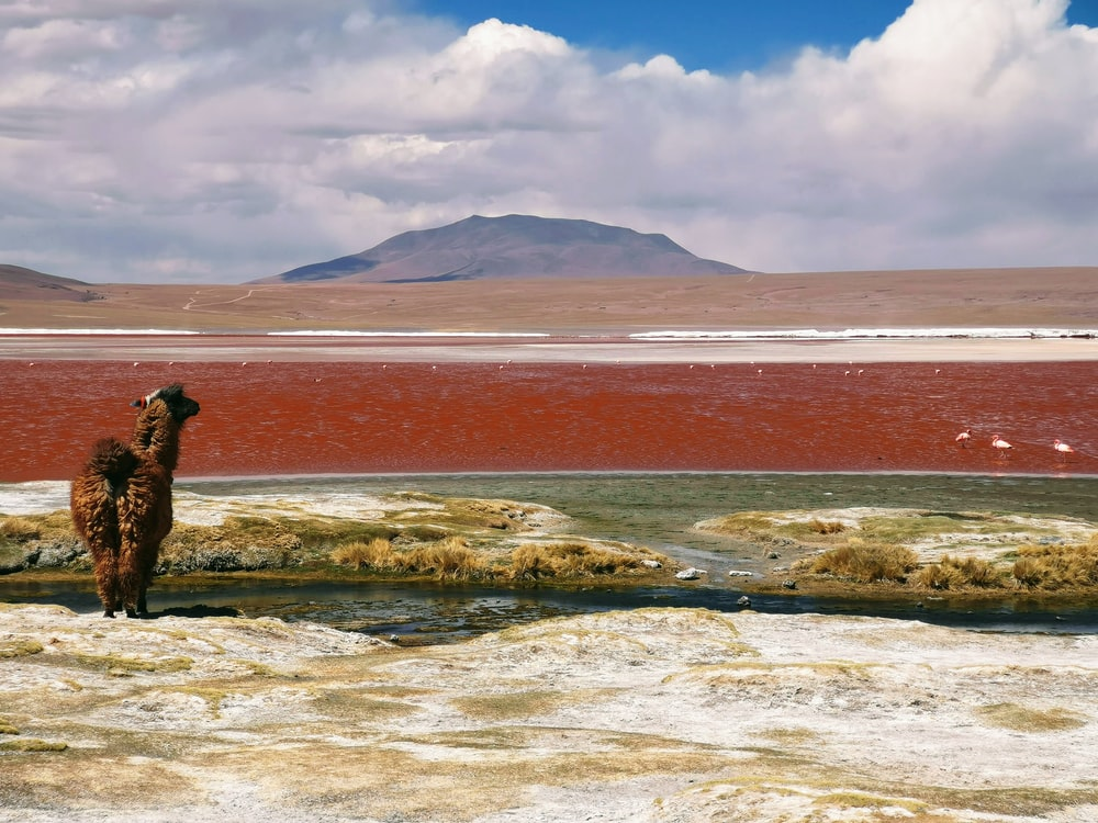 brown lama facing body of water