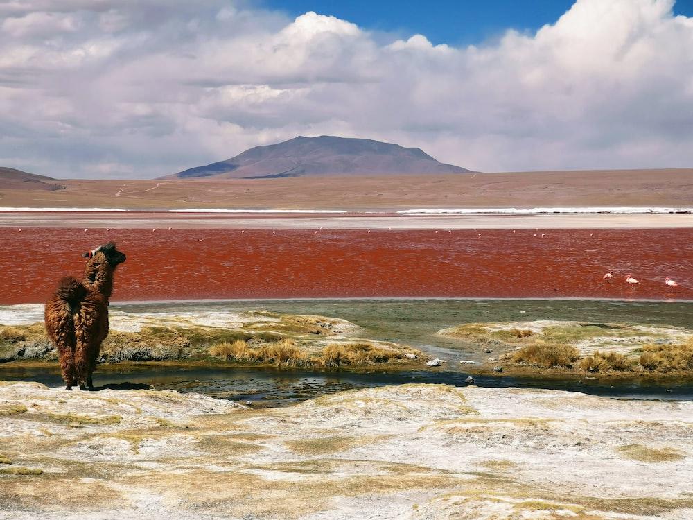 brown lama facing body of water