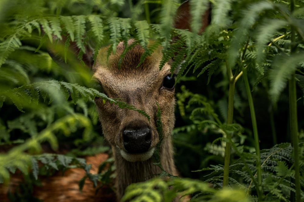 brown deer hiding on green fern plant