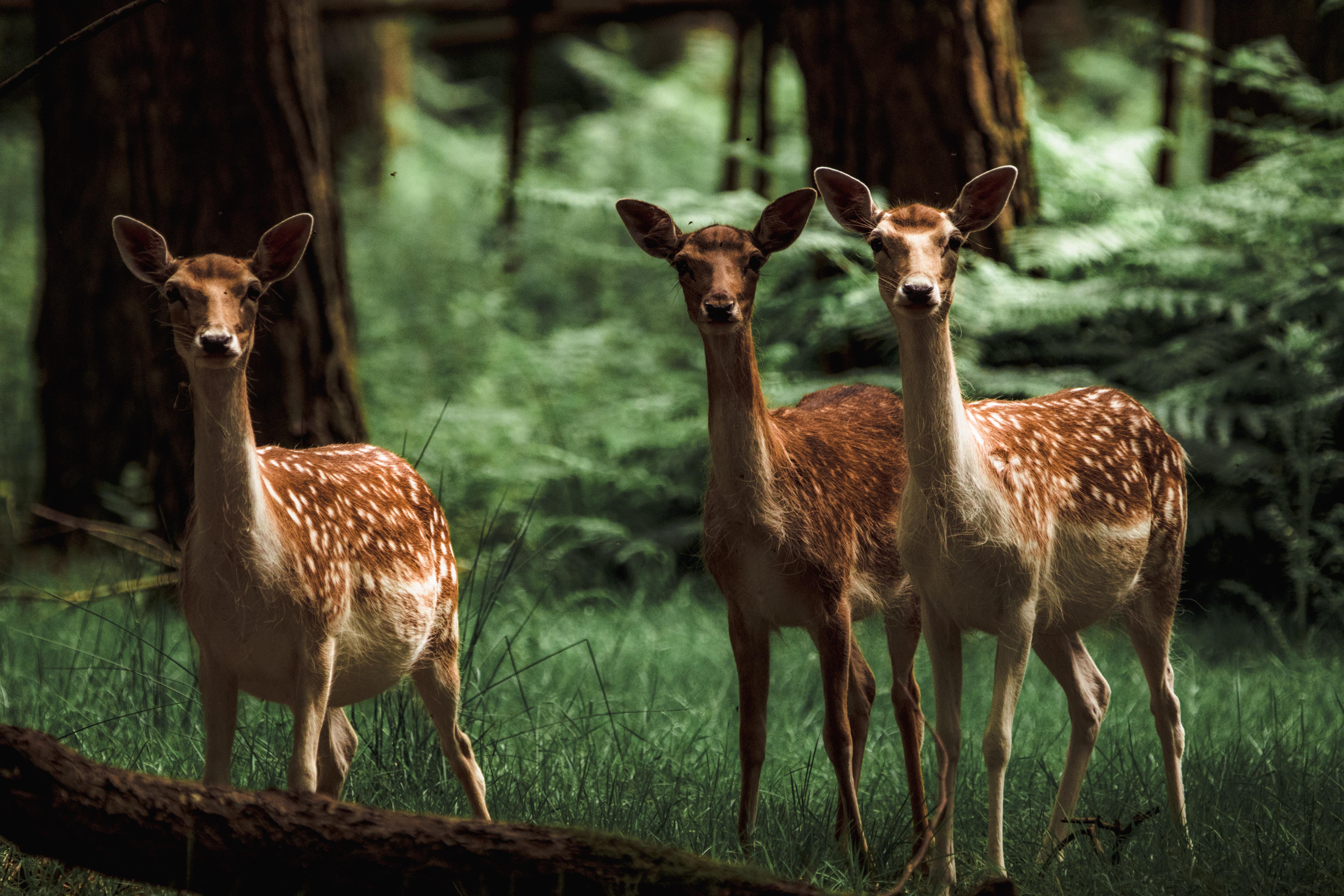 brown and black deer head