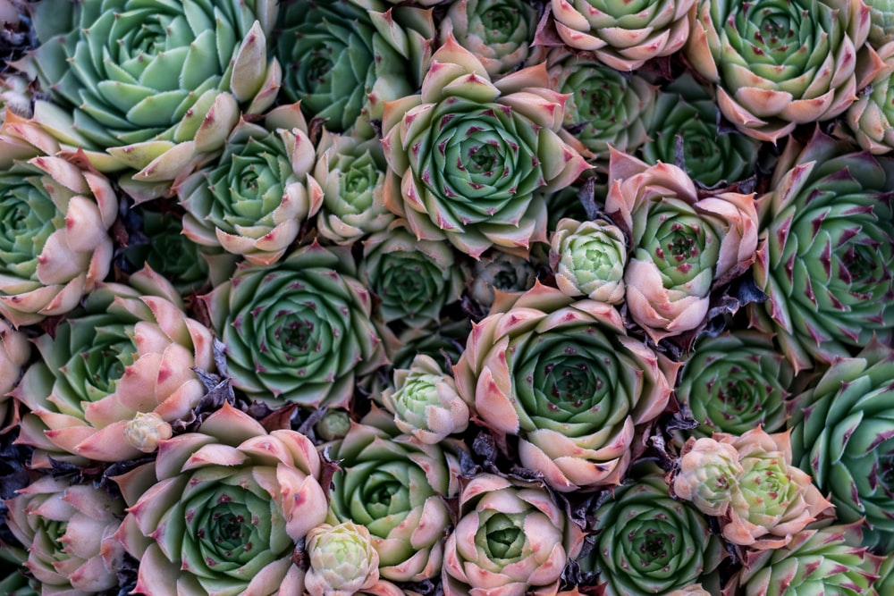 green-and-pink succulent plant