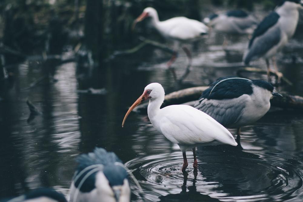 flock of stork in body of water