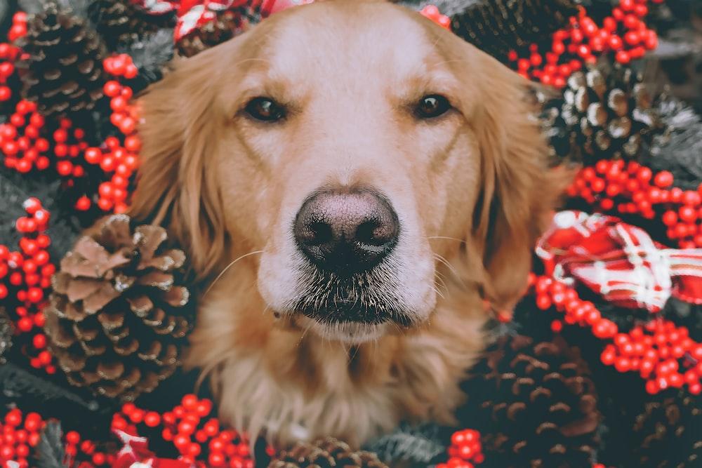 golden Labrador Retriever illustration