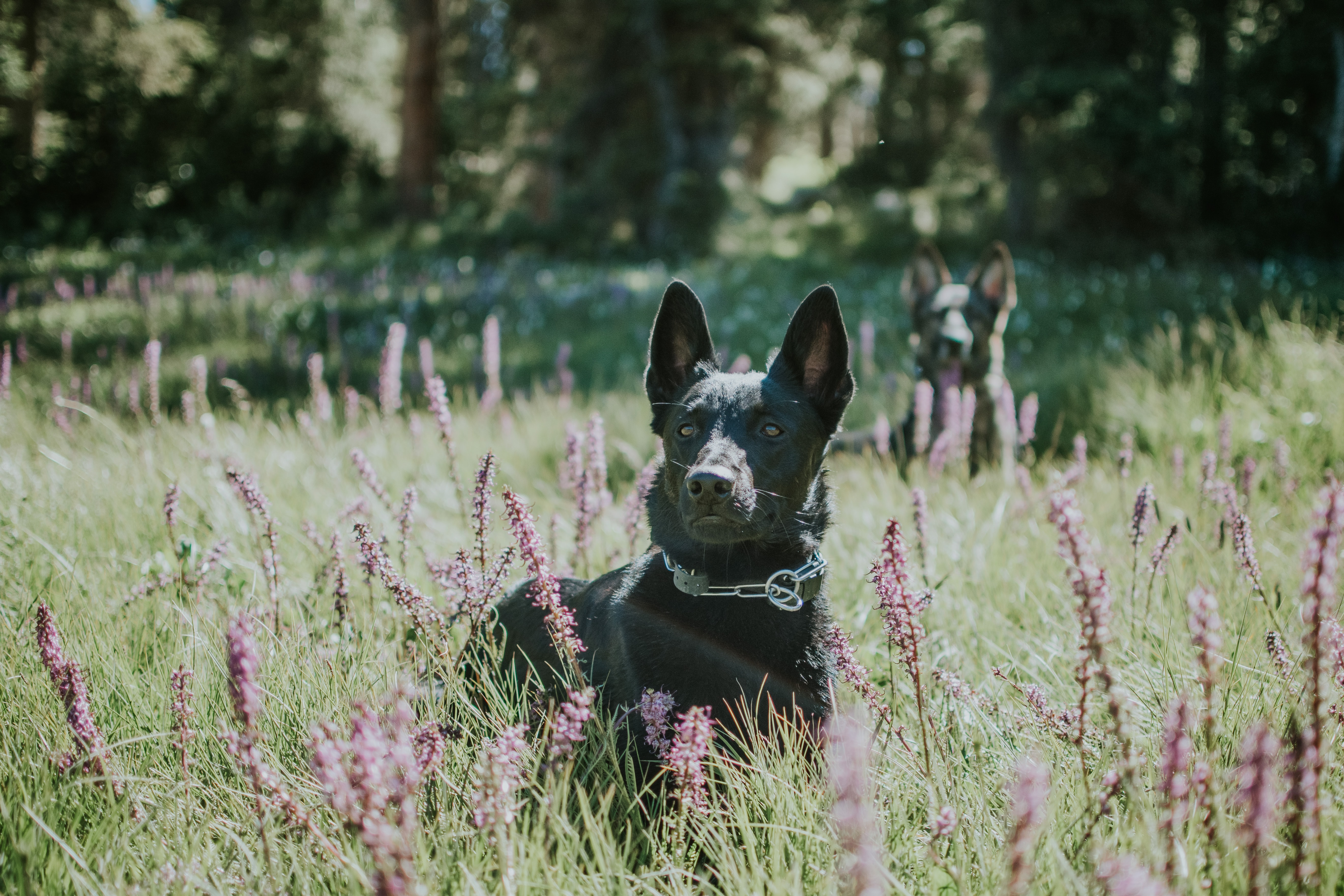 selective focus photography of black dog on green grass near woods during daytime