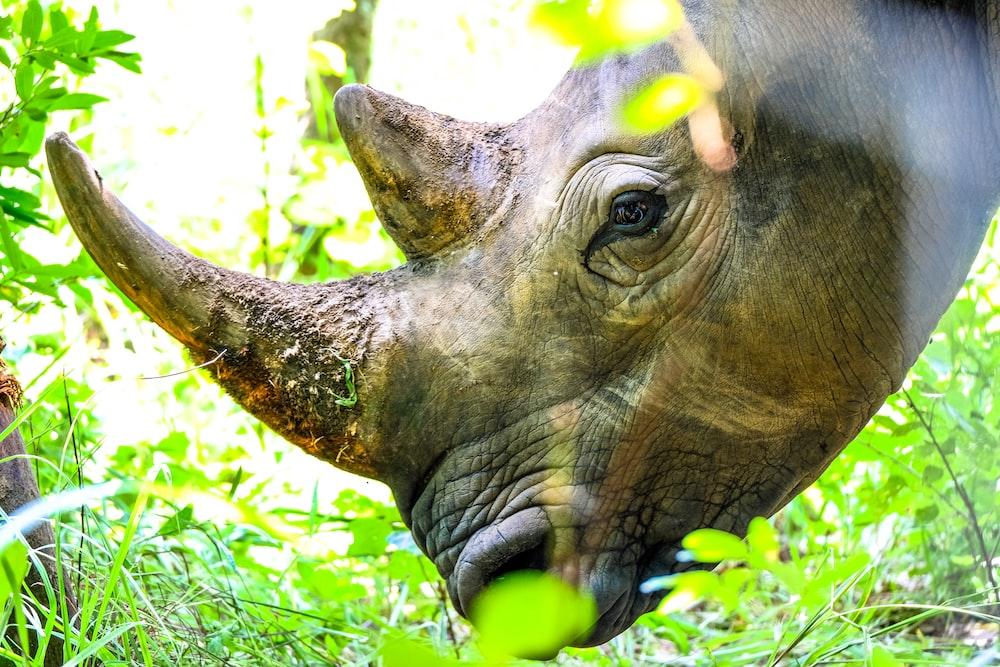 rhinoceros eating grass during daytime