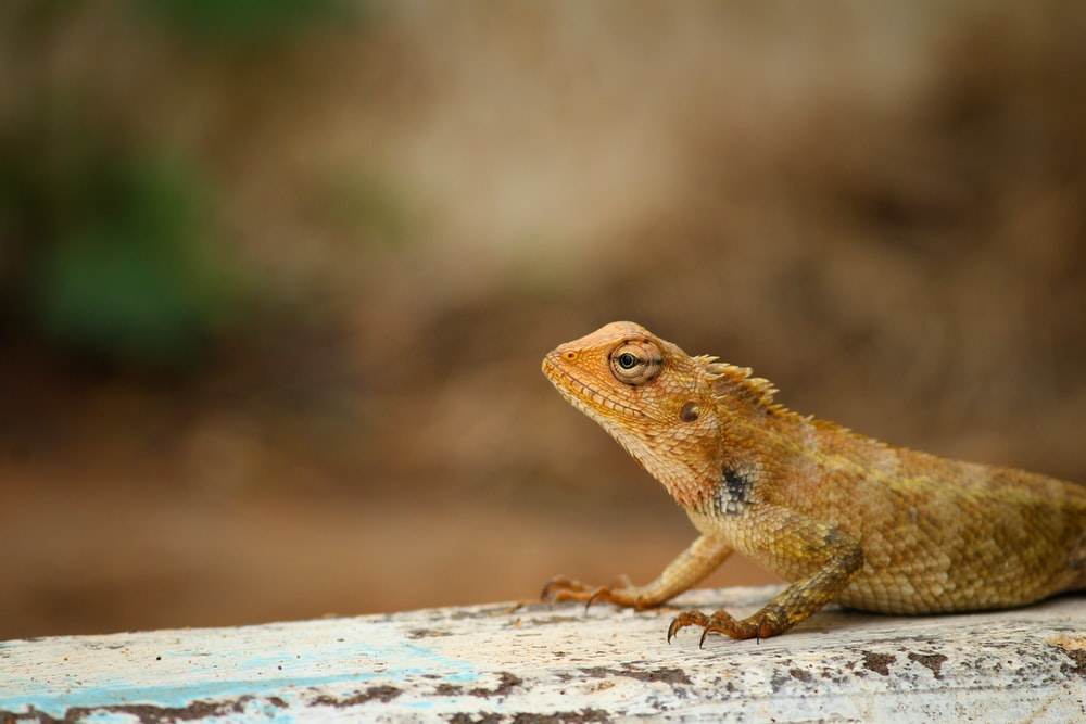 shallow focus photography of brown and white lizard