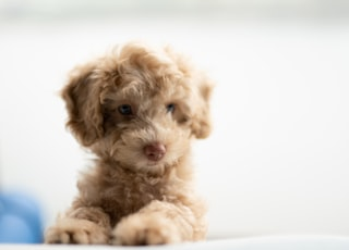 medium-coated tan puppy on white textile