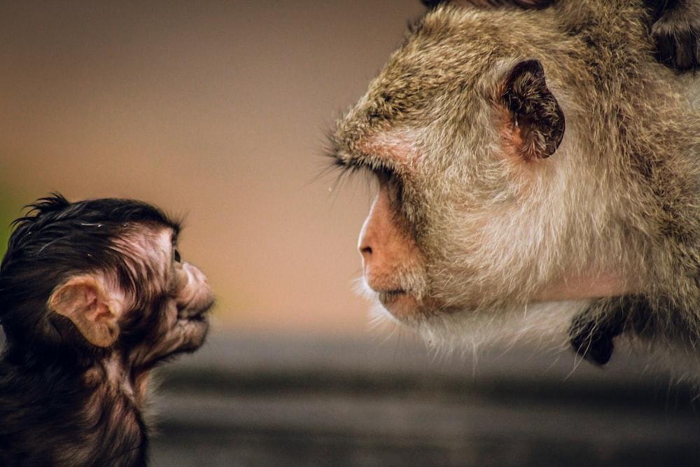 brown monkey