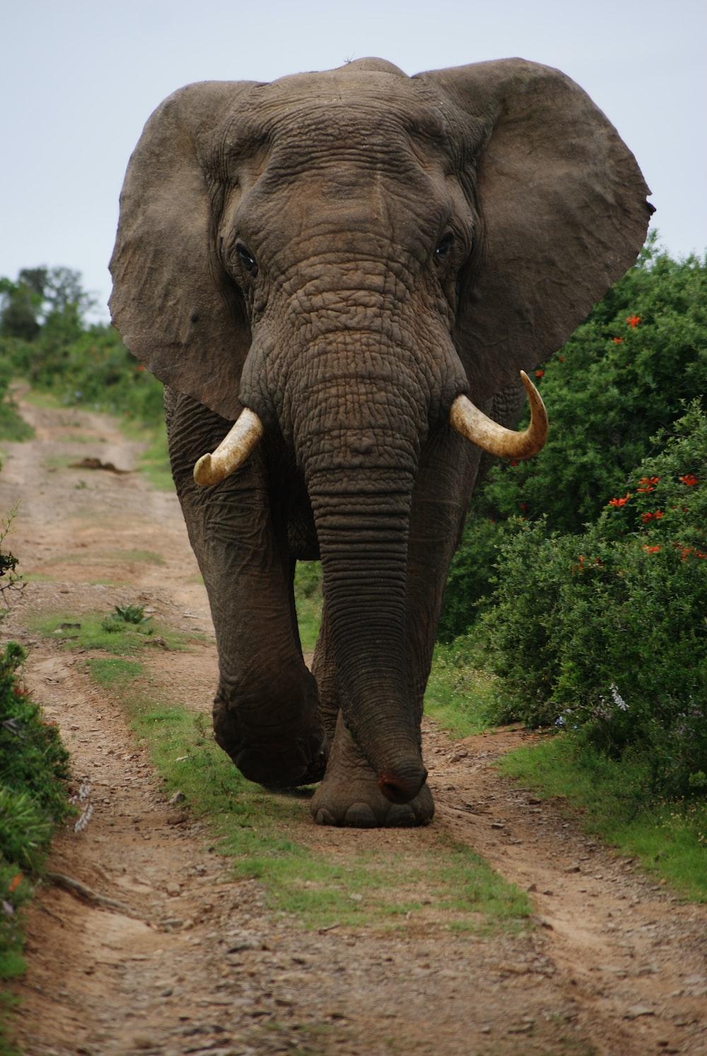 gray elephant walking beside green plants during daytime