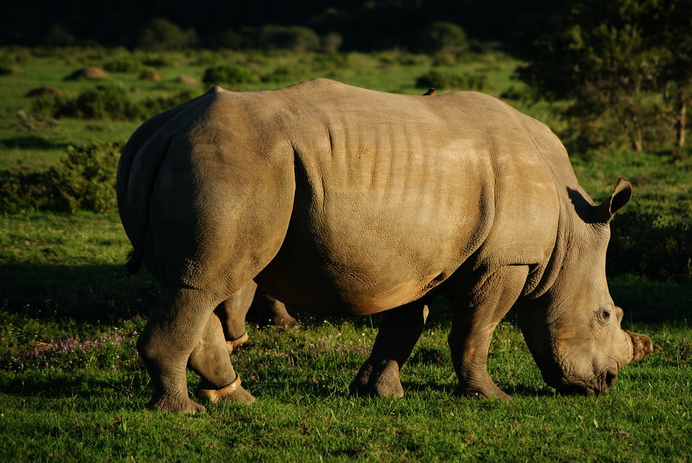 Rhinoceros on grass during daytime