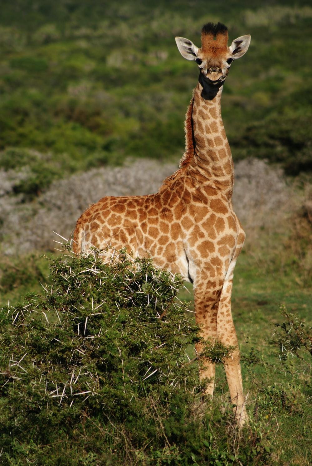 brown giraffe standing beside green plants