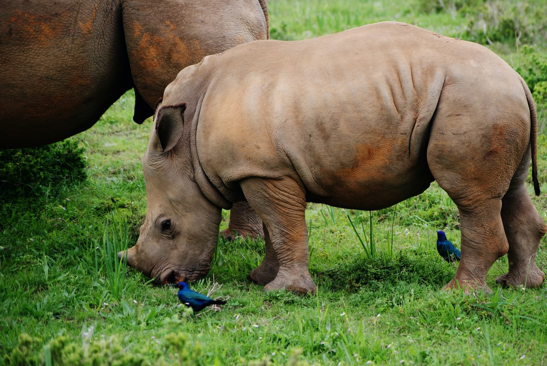 Baby rhino surrounded by birds
