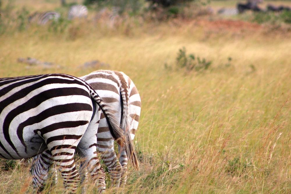 zebra on fields
