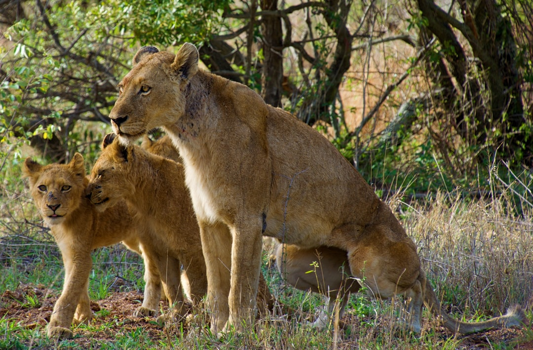 This photo of a lioness and her cubs was taken in Kruger National Park, South Africa.