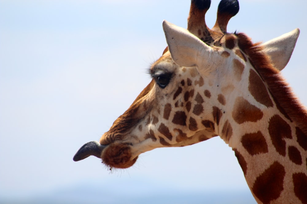 brown and white giraffe close-up photography