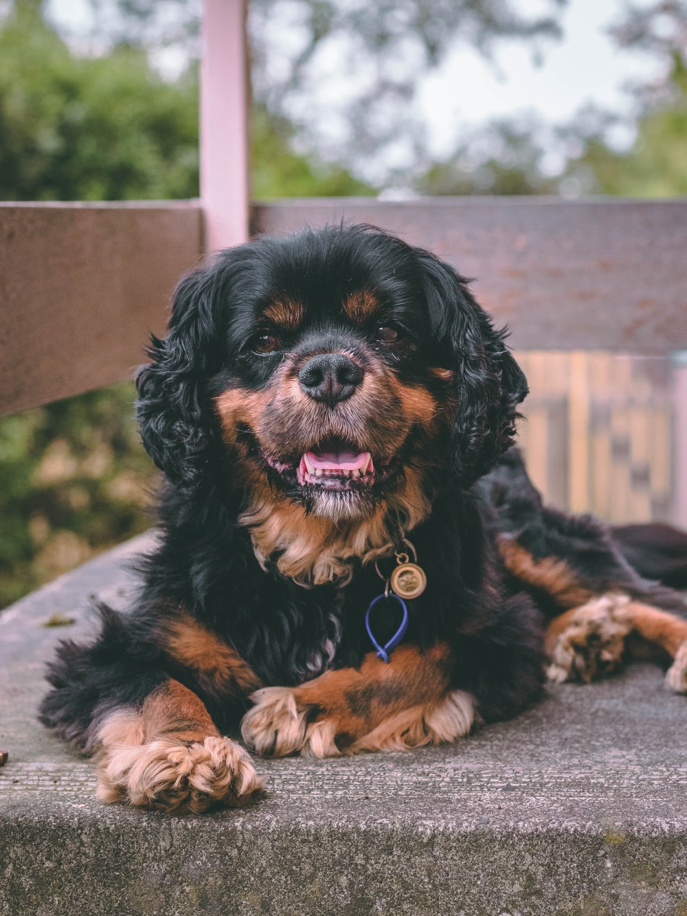 adult black and tan Cavalier King Charles spaniel lying on gray surface close-up photo