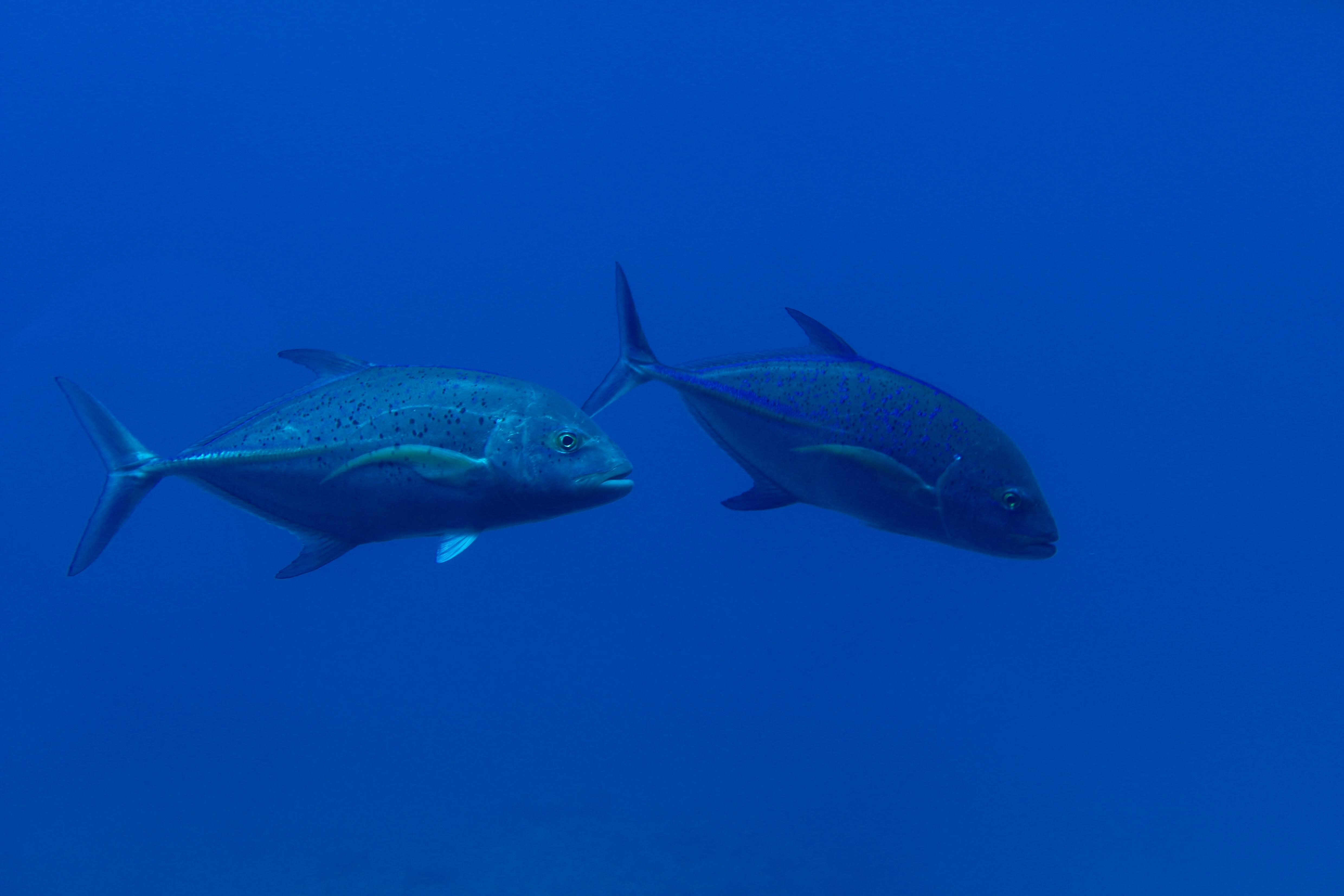 two gray fish underwater photo