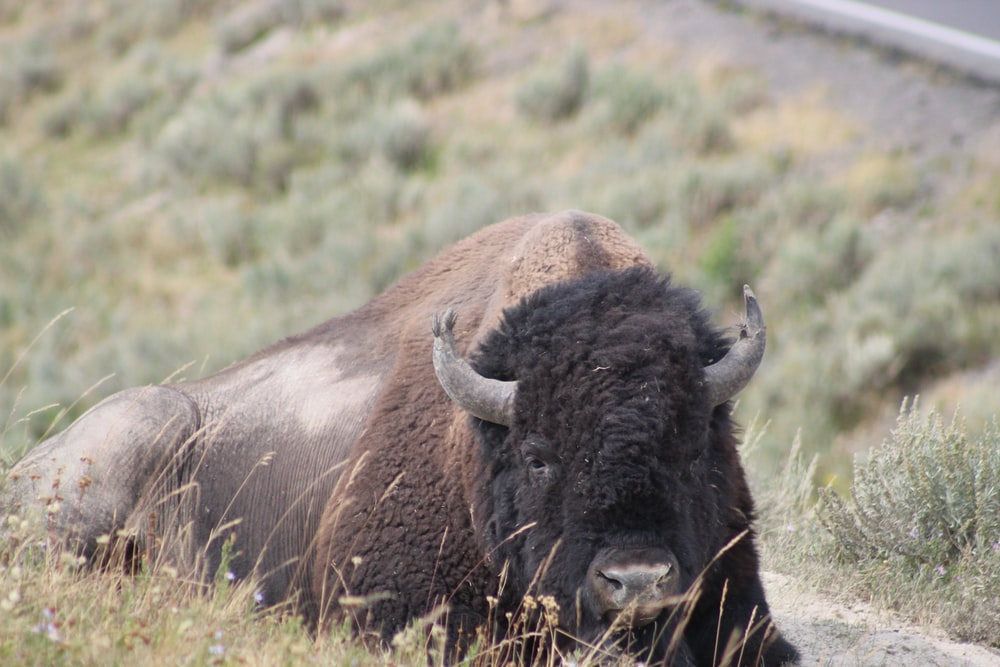adult brown bison lying on grass during day