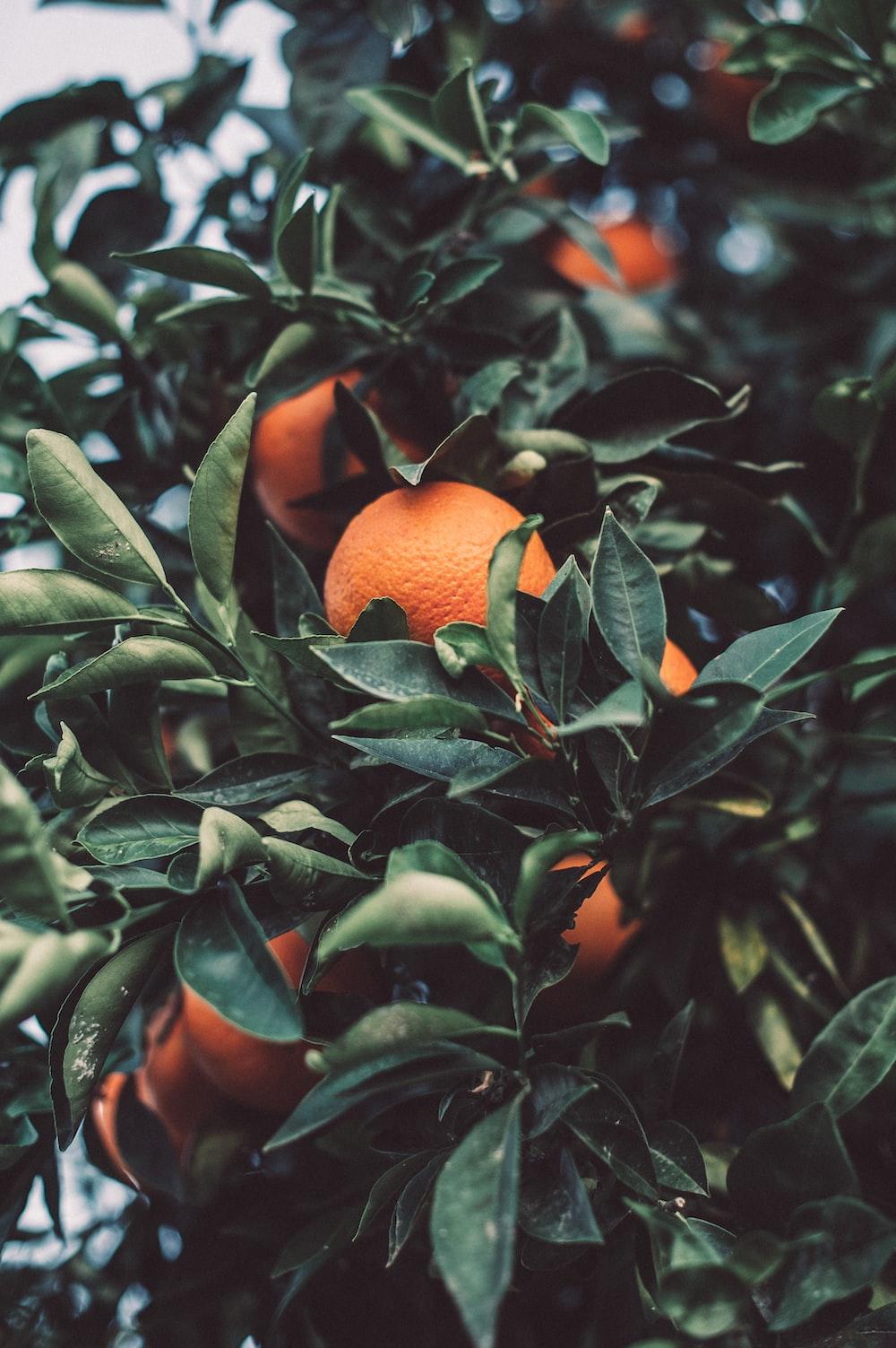 close up photography of orange fruit