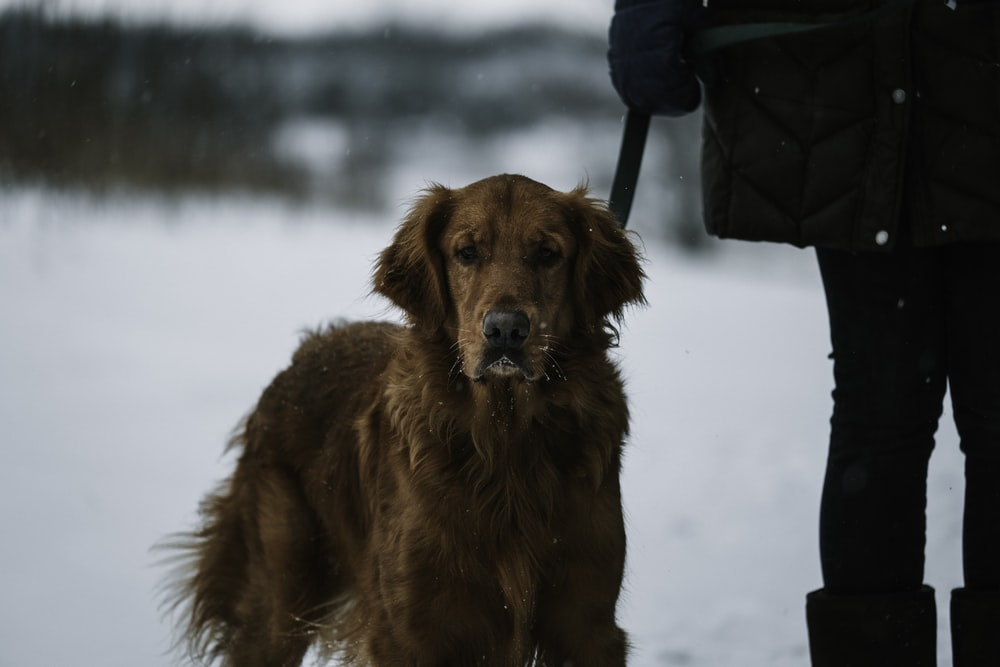 dark golden retriever beside person on snow at daytime