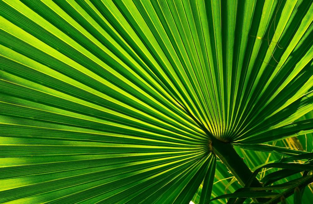 green fan palm