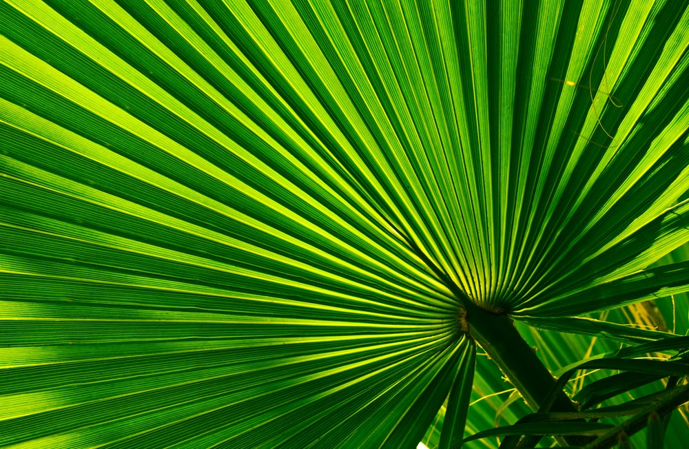green fan palm
