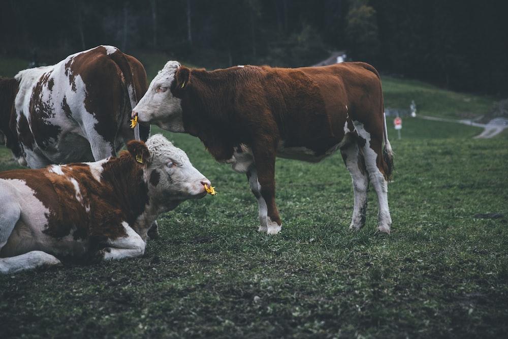 cattle on grass