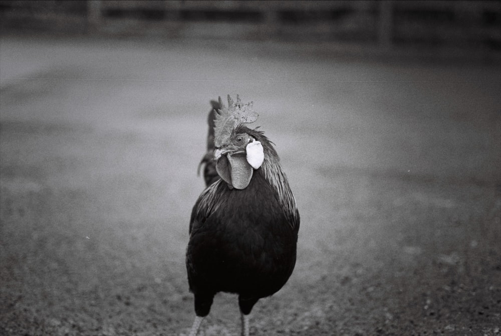 greyscale photo of rooster on pavement