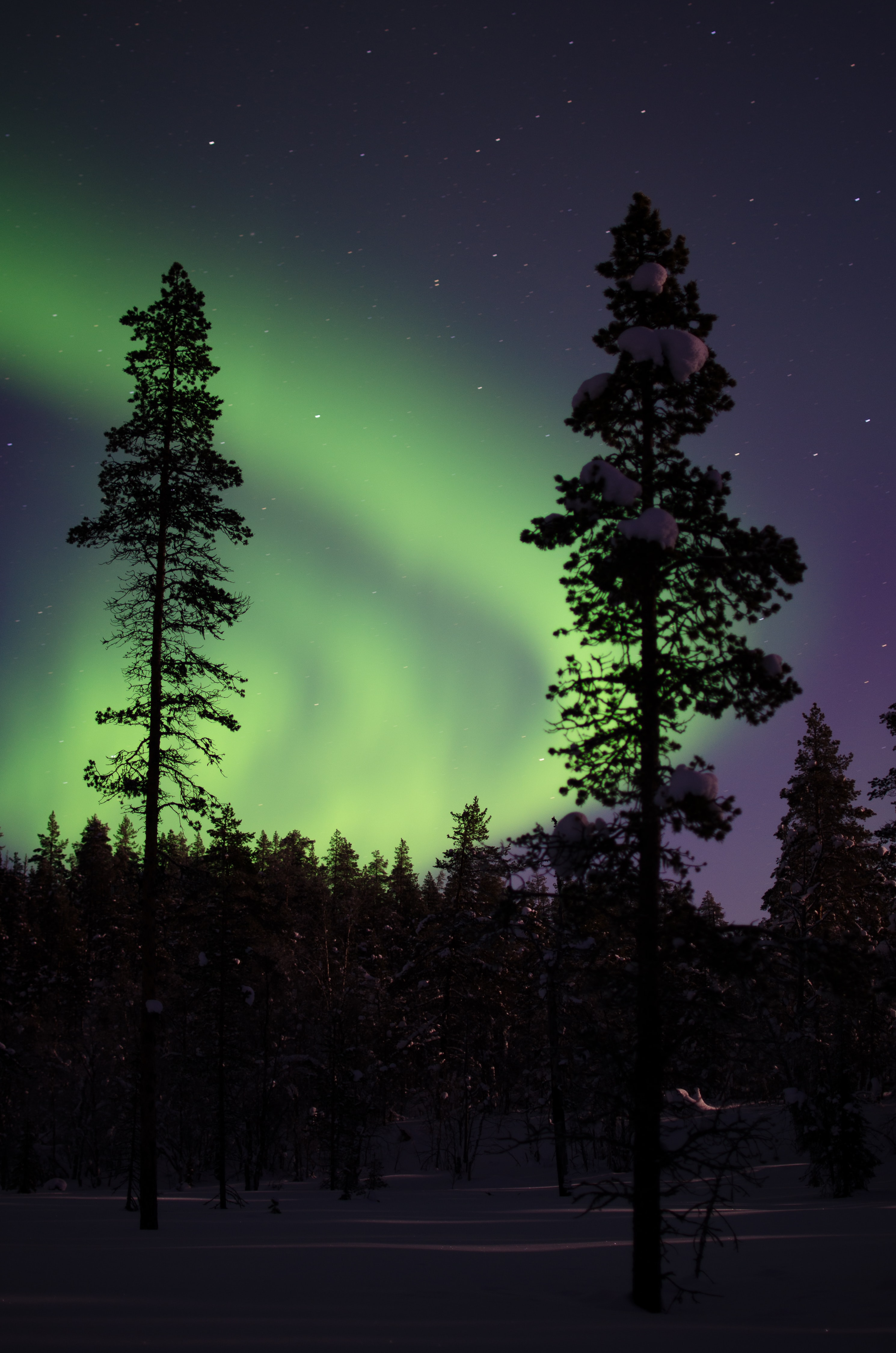 Northern light with pine trees at night