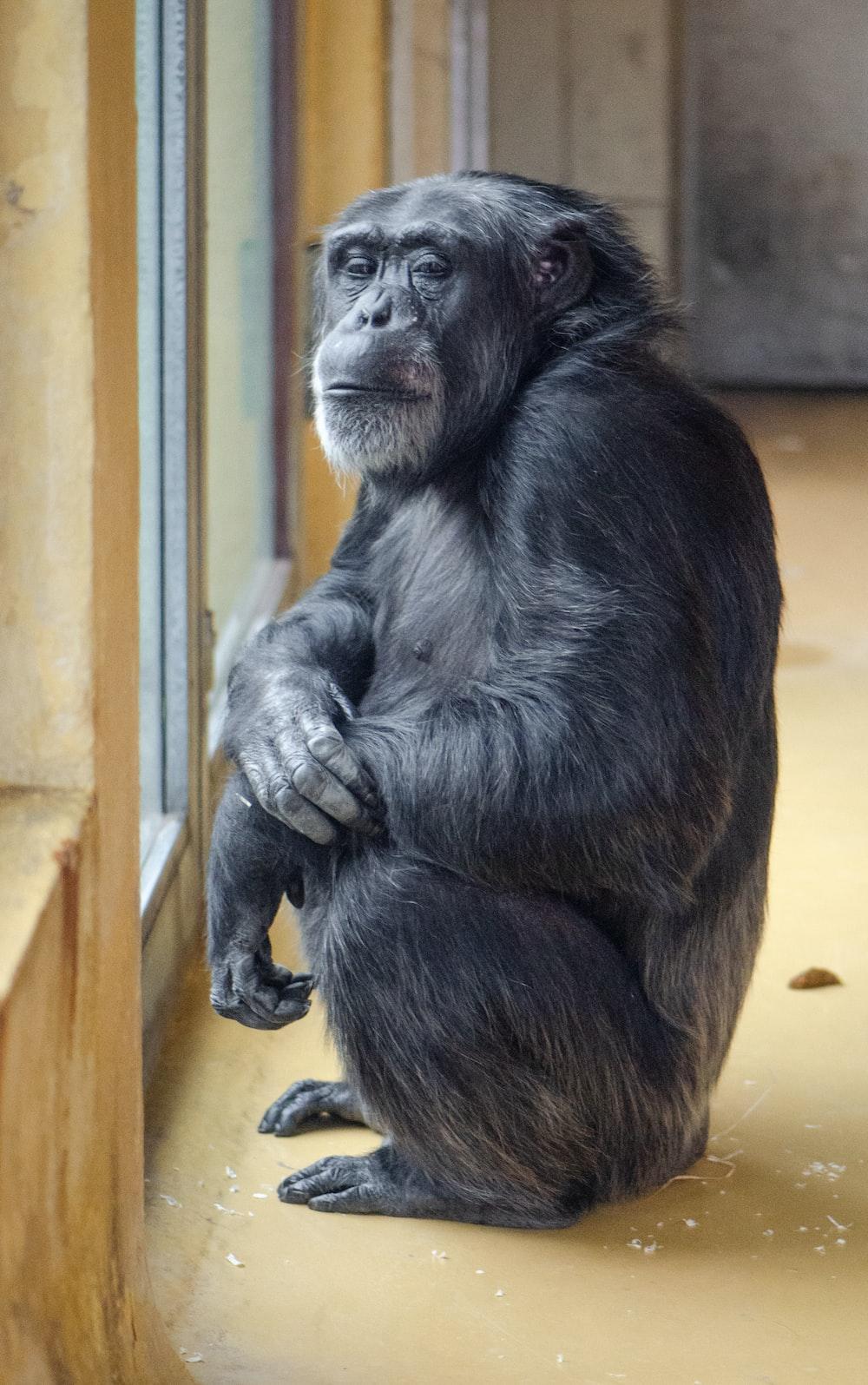 gorilla inside room