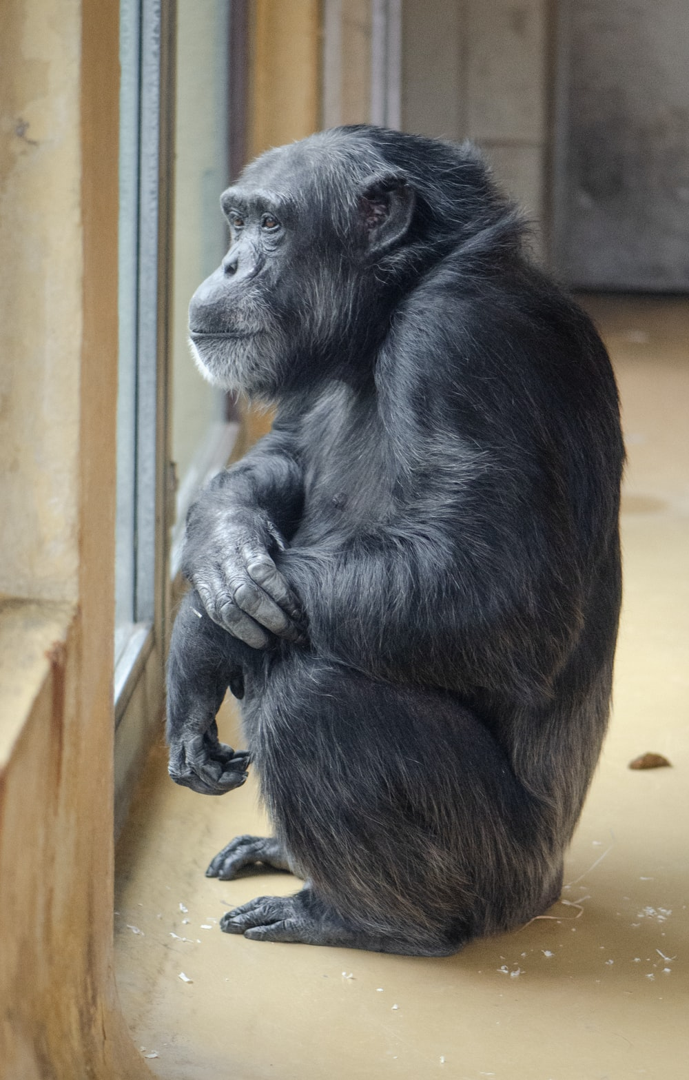 black primate