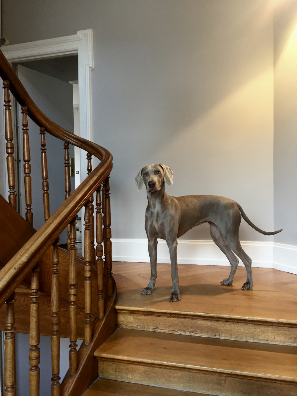 adult blue great dane on the house