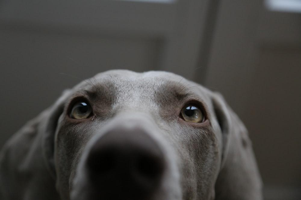short-coated gray dog