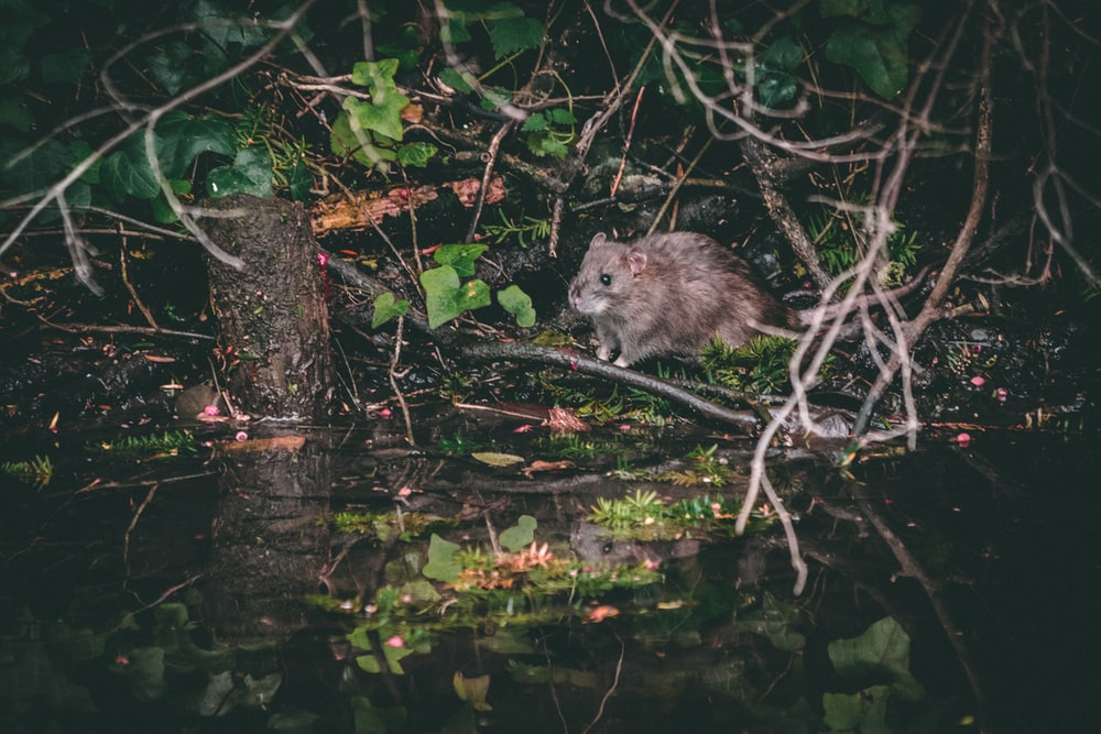 gray rat near tree