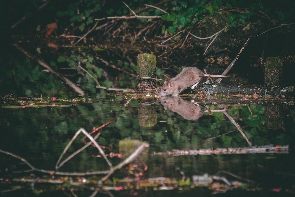 gray mouse near body of water near tree