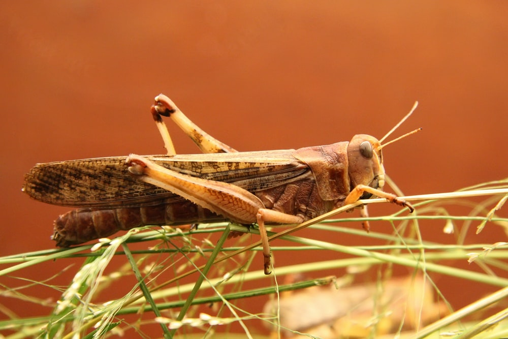 brown and black grasshopper closeup photography