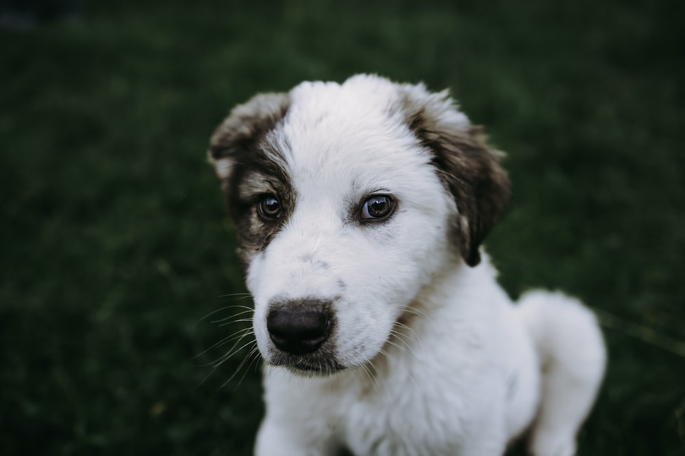 short-coated white and tan puppy photography