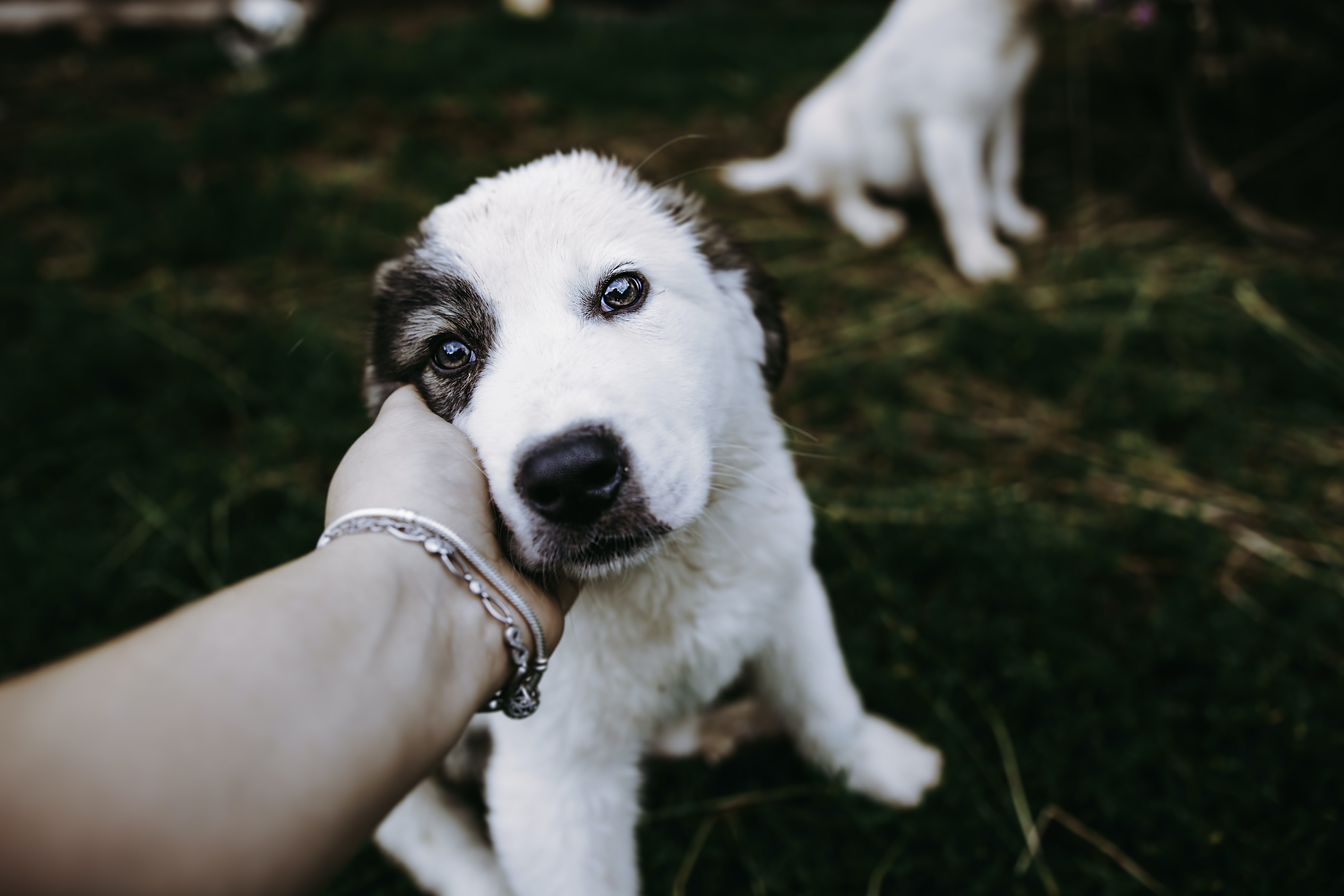 white and black American Pit Bull Terrier puppy