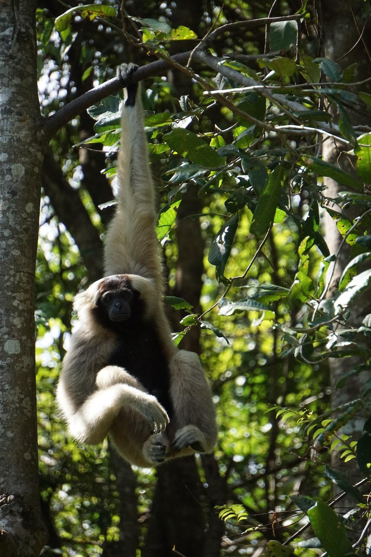 white monkey hanged on tree