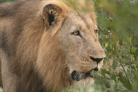 brown lion outdoor during daytime