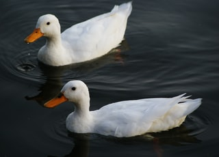 two white ducks on calm body of water