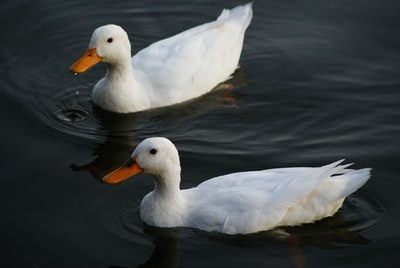 two white ducks on calm body of water duck zoom background