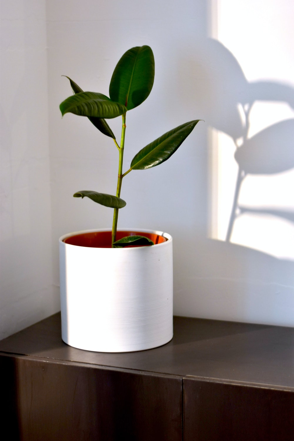 green rubber fig in pot