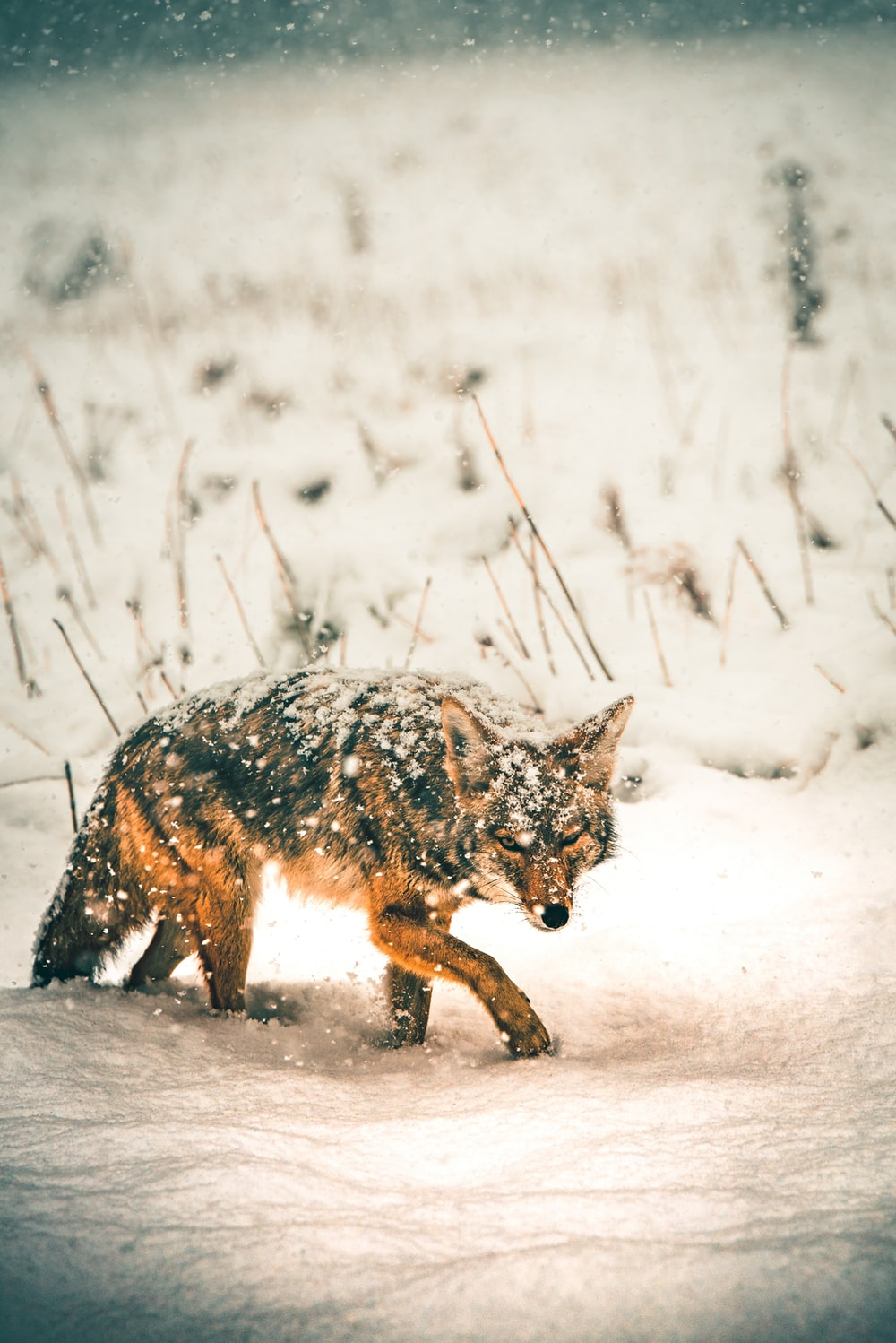black and brown fox standing on snow during daytime