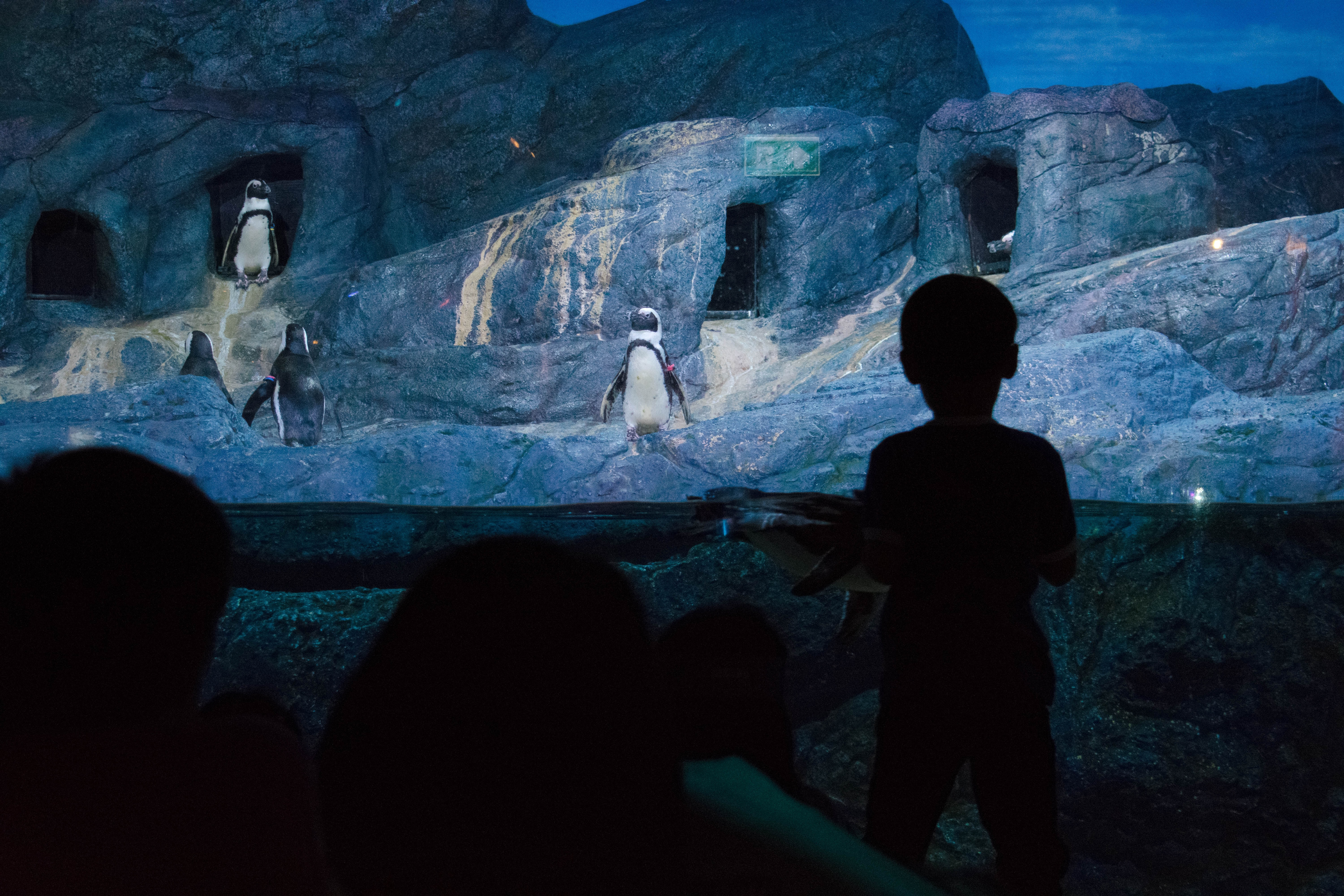 silhouette photo of child watching penguins