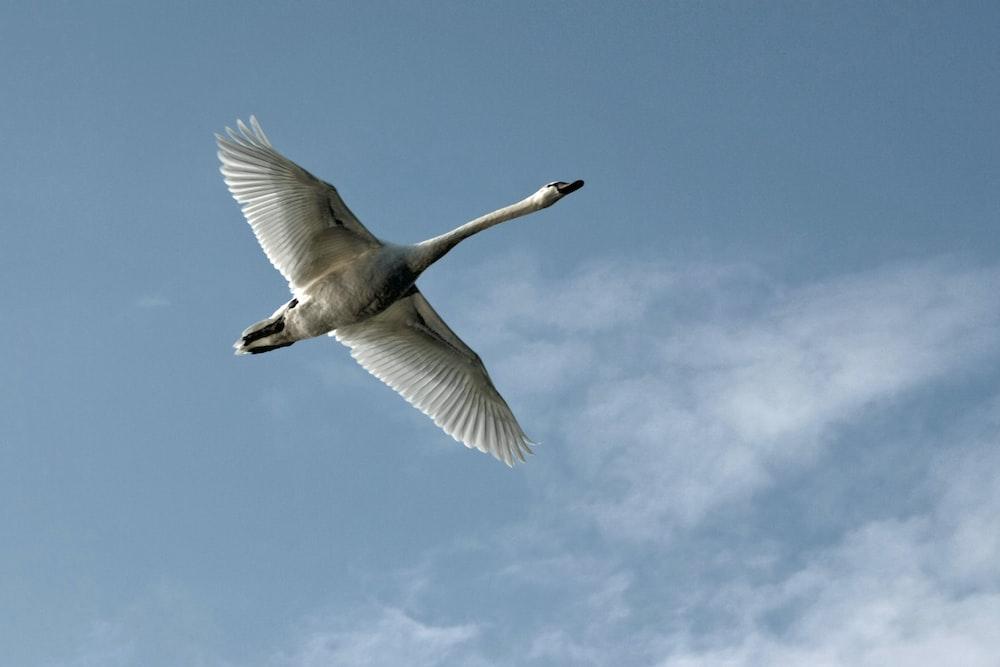 white swan flying photo